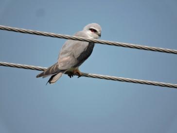 Black-Shouldered Kite, Vedanthangal