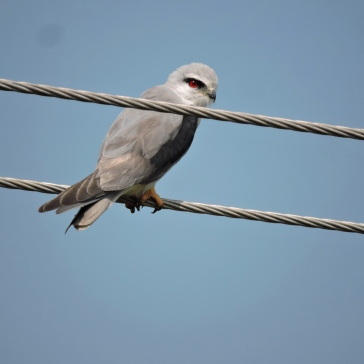 Black-Shouldered Kite, Vedanthangal