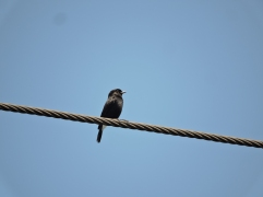 Pied Bushchat - male, Vedanthangal