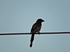 Rufous Treepie, East Coast Road