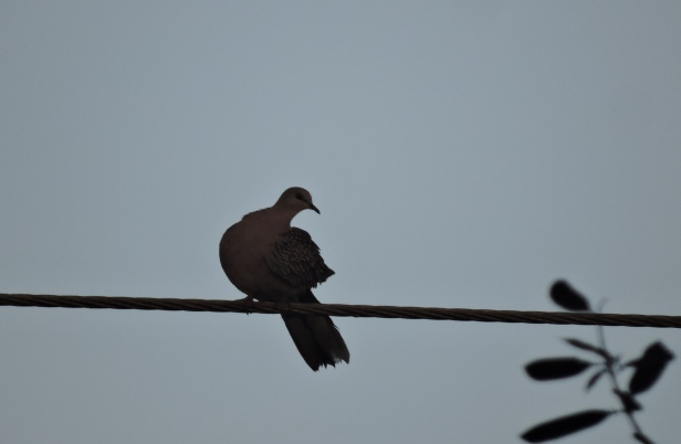 Spotted Dove, East Coast Road