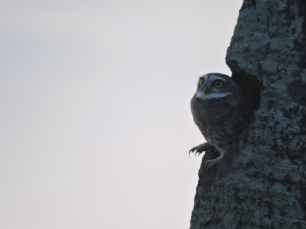 Spotted Owlet, East Coast Road