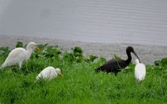 Glossy Ibis / Cattle Egret, Chennai