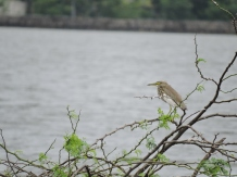 Indian Pond Heron, Chennai