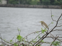 Indian Pond Heron, Chennai