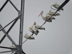 Spot Billed Pelicans, Chennai