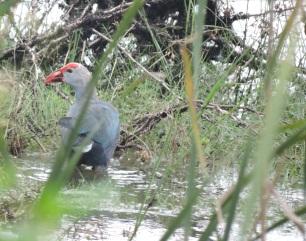 Grey-Headed Swamphen