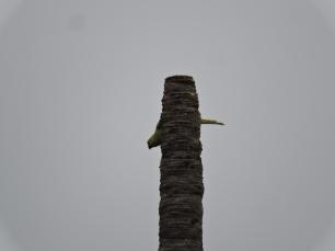 Rose-Ringed Parakeet, Chennai