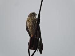 Common Kestrel, Chennai