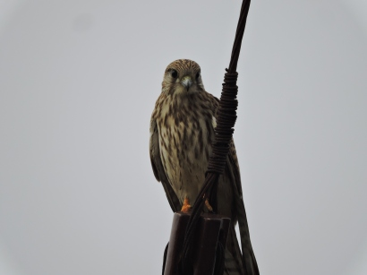 Common Kestrel, Chennai