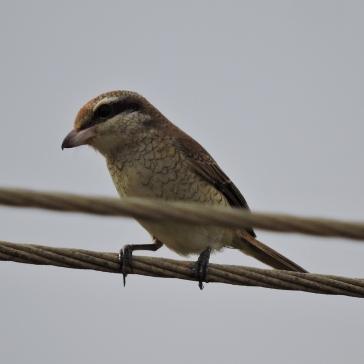 Brown Shrike (juvenile). Chennai