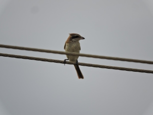 Brown Shrike (juvenile). Chennai