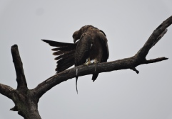 Black Kite, Chennai