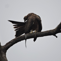 Black Kite, Chennai