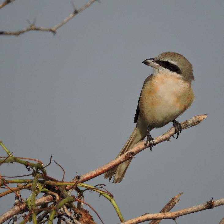 Long-Tailed Shrike, Chennai