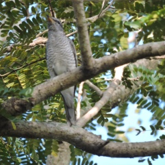 Black-Headed Cuckooshrike, Vedanthangal