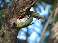 Copperssmith Barbet, Vedanthangal