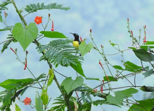 Purple-Rumped Sunbird, Valparai