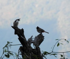 Red-Whiskered / Red Vented Bulbul, Valparai