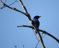 Asian Fairy Bluebird, Valparai