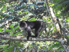 Lion-Tailed Macaque, Valparai