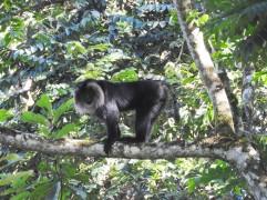 Lion-Tailed Macaque, Valparai