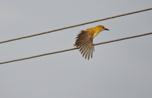 Golden Oriole, Chennai