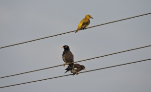 Golden Oriole / Common Mynahs, Chennai