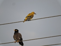 Golden Oriole / Common Mynah, Chennai