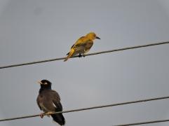 Golden Oriole / Common Mynah, Chennai