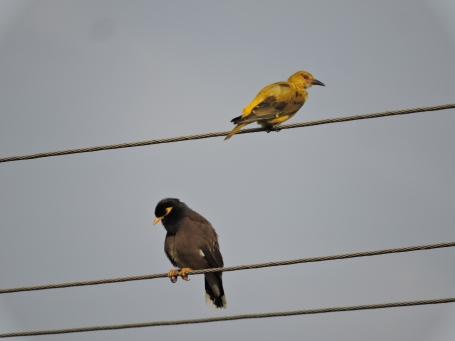 Golden Oriole / Common Mynah - Vedanthangal