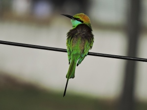 Green Bee-Eater - Vedanthangal