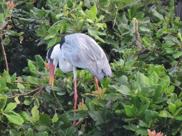 Grey Heron - Vedanthangal