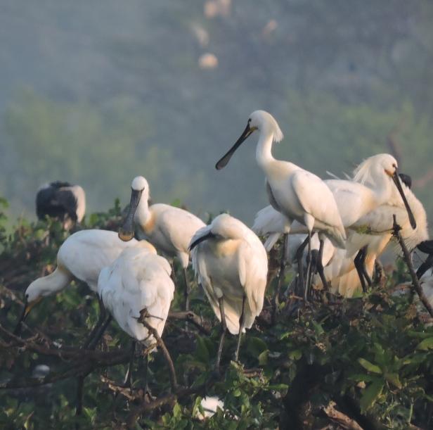 Eurasian Spoonbills, Chennai
