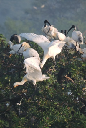 Eurasian Spoonbills / Black Headed Ibises, Chennai