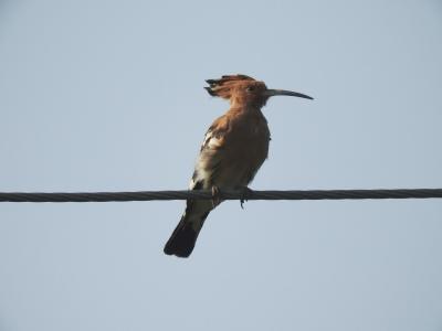 Common Hoopoe, Chennai
