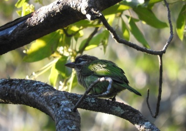 White-Cheeked Barbet, Kodainakal