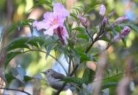 Nilgiri Flowerpecker, Kodainakal