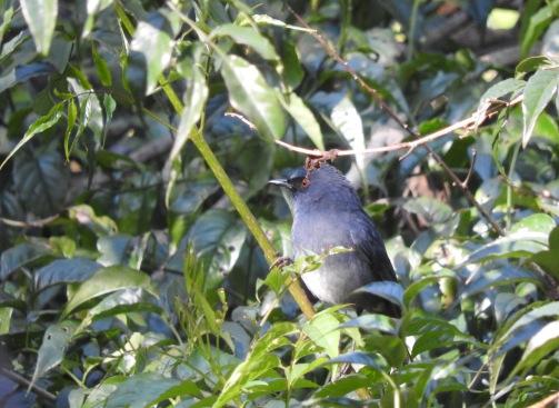 White-Bellied Blue Robin, Kodainakal