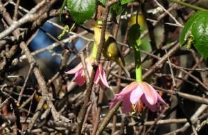 Tickell's Leaf Warbler, Kodaikanal