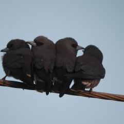 Ashy Woodswallows, Kelambakkam