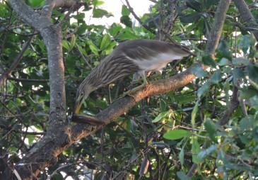 Indian Pond Heron, Vedanthangal