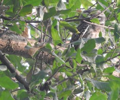 Spotted Owlet, Vedanthangal