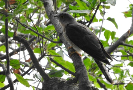Common Hawk Cuckoo, Vedanthangal
