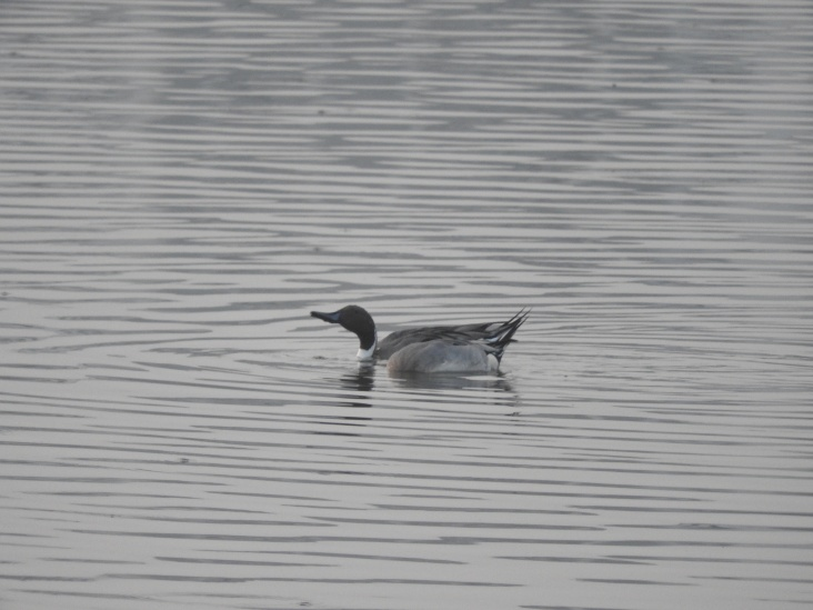 Northern Pintail (male), Chennai