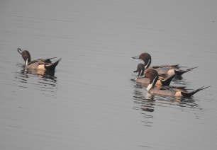 Northern Pintails (male), Chennai