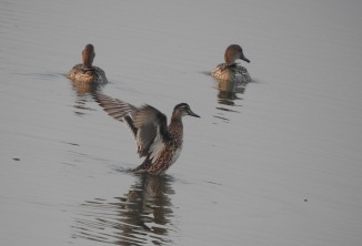 Northern Pintails (female), Chennai