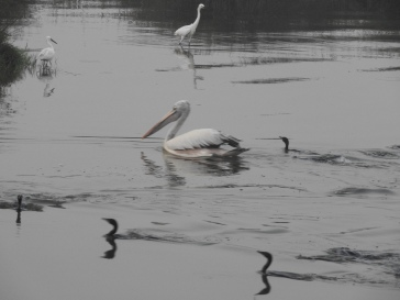 Spot-Billed Pelican / Darters, Chennai