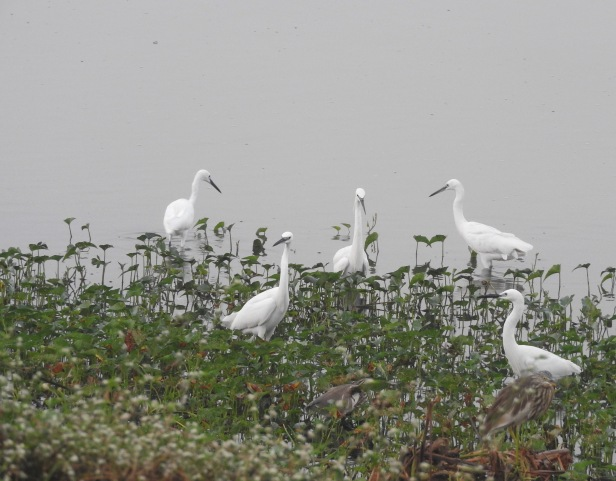 Little Egrets, Chennai