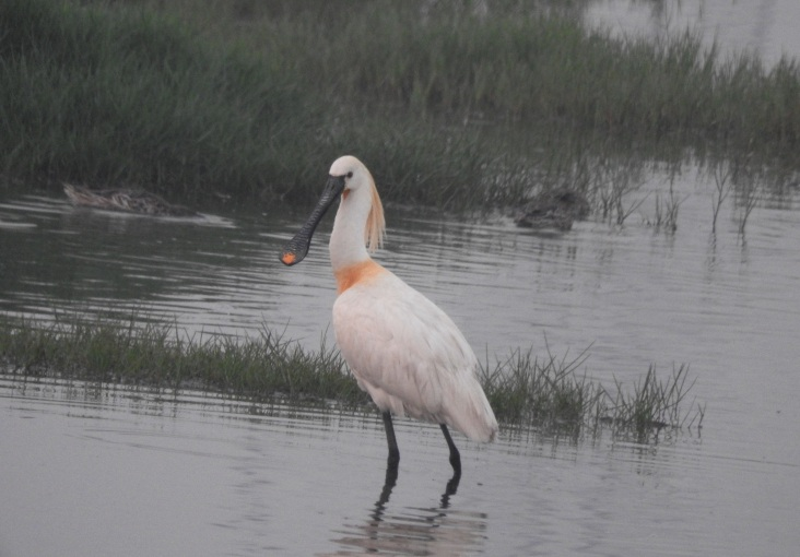Eurasian Spoonbill, Chennai